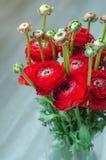 Kleurrijk rood boeket van bloemenranunculus de lente Stock Foto's