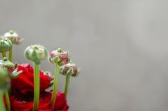 Kleurrijk rood boeket van bloemenranunculus de lente Royalty-vrije Stock Foto's