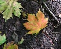 Kleurrijk sycomoorblad die op de grond liggen Stock Afbeelding