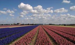Kleurrijk tapijt van bloeiende hyacinten, Nederlandse hemel Royalty-vrije Stock Foto's