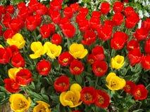 Kleurrijk tapijt van tulpen Royalty-vrije Stock Afbeelding