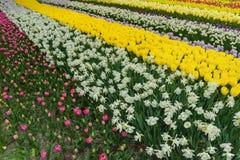 Kleurrijk tulpen, narzissen in de Nederlandse Tuinen van de lentekeukenhof Stock Foto's