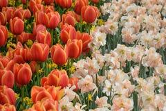 Kleurrijk tulpen, narzissen in de Nederlandse Tuinen van de lentekeukenhof Bloeiend bloembed Stock Fotografie