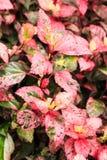 Kleurrijk van Chinees nam bladeren toe stock afbeeldingen