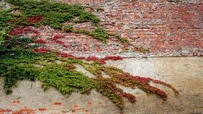 Kleurrijk van wijnstokbladeren in de herfst met oude bakstenen muur Royalty-vrije Stock Fotografie