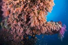 Kleurrijk van zachte cora Royalty-vrije Stock Foto