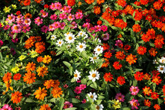 Kleurrijk van Zinnia Royalty-vrije Stock Foto's