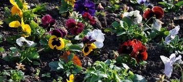Kleurrijk viooltje Stock Afbeelding