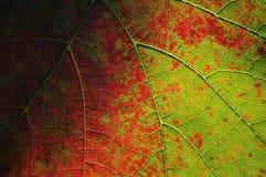 Kleurrijk wijnstokblad Stock Afbeeldingen