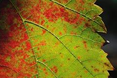Kleurrijk wijnstokblad Stock Foto