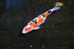 Kleurrijk - witte oranje zwarte koi die in vijver zwemmen royalty-vrije stock afbeeldingen