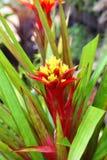 Kleurrijke ananasbloem (de bloem van Comosus van de Ananas) Stock Afbeelding