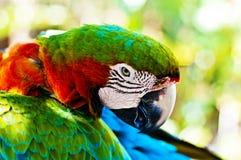 Kleurrijke ara stock afbeelding