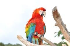 Kleurrijke Ara Stock Foto's