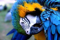 Kleurrijke Ara Royalty-vrije Stock Afbeeldingen