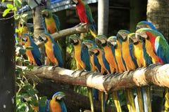 Kleurrijke ara's Stock Afbeelding