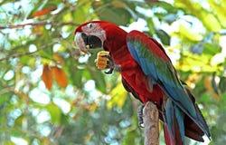 Kleurrijke aravogel Stock Foto