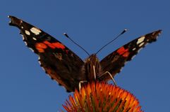Kleurrijke atalanta van vlindervanessa royalty-vrije stock foto