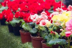 Kleurrijke begonia Stock Foto