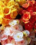 Kleurrijke begonia'sbloemen Royalty-vrije Stock Afbeeldingen