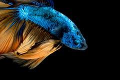 Kleurrijke Betta-vissen, Siamese het vechten vissen Royalty-vrije Stock Foto's