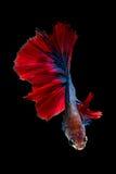 Kleurrijke Betta-vissen, Siamese het vechten vissen Royalty-vrije Stock Foto