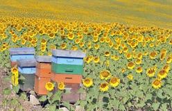Kleurrijke bijenkorven op zonnebloemgebied stock afbeeldingen