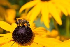 Kleurrijke bijenzitting op gele bloem Royalty-vrije Stock Fotografie