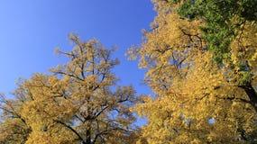 Kleurrijke Bladeren in Autumn With Blue Sky In Sunny Day Royalty-vrije Stock Afbeeldingen