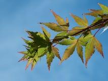 Kleurrijke bladeren tegen blauwe en wolkenloze hemel Stock Fotografie