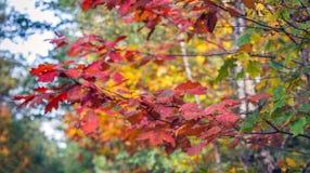 Kleurrijke bladeren van een eiken boom in de herfst royalty-vrije stock foto's