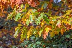 Kleurrijke bladeren van een eiken boom in de herfst royalty-vrije stock afbeelding