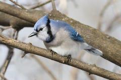 Kleurrijke Blauwe die Vlaamse gaaivogel op een boomtak wordt neergestreken Royalty-vrije Stock Afbeelding