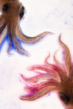 Kleurrijke blauwe en roze pijlinktvissen Stock Afbeeldingen