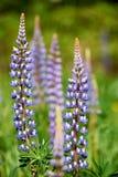 Kleurrijke blauwe Lupine Stock Afbeeldingen