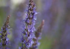 Kleurrijke blauwe racemes van salviabloemen Royalty-vrije Stock Afbeelding