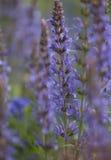 Kleurrijke blauwe racemes van salviabloemen Stock Afbeeldingen