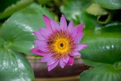 Kleurrijke bloeiende roze waterlelie en bij Stock Fotografie