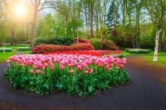Kleurrijke bloeiende tulpen in tuin Keukenhof, Nederland van de de lente de bloemenbloem Royalty-vrije Stock Foto
