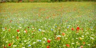 Kleurrijke bloeiende wilde bloemen op de weide in de lentetijd Royalty-vrije Stock Afbeeldingen