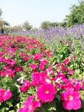 Kleurrijke Bloem: Roze & Purple Royalty-vrije Stock Fotografie