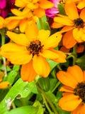 Kleurrijke bloem in tuin Stock Afbeeldingen