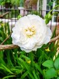 Kleurrijke bloem in tuin Royalty-vrije Stock Foto's