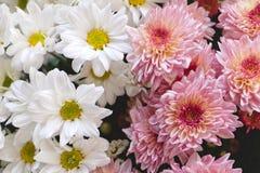 Kleurrijke bloem in tuin Royalty-vrije Stock Fotografie