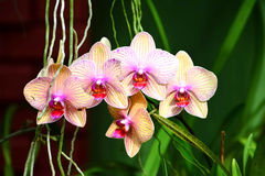 Kleurrijke Bloemen bij Koninklijke Botanische Tuin Peradeniya, Sri Lanka Royalty-vrije Stock Foto