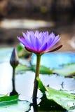 Kleurrijke Bloemen bij Koninklijke Botanische Tuin Peradeniya, Sri Lanka Stock Afbeeldingen