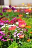 Kleurrijke bloemen die in de Indische Tuin van Klusjesbagh in Hamilton Gardens bloeien stock afbeelding