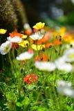Kleurrijke bloemen die in de lente in de Botanische Tuinen van Auckland bloeien stock foto