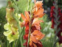 Kleurrijke bloemen die van gladiolen in de tuin bloeien stock fotografie