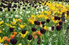 Kleurrijke bloemen en bloesem in Nederlandse de lentetuin Keukenhof Stock Foto